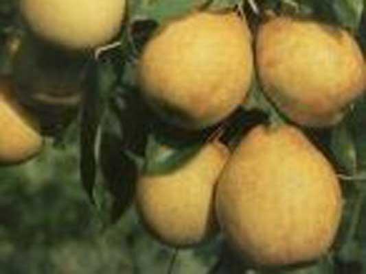 bodensee-birne-gellerts-butterbirne
